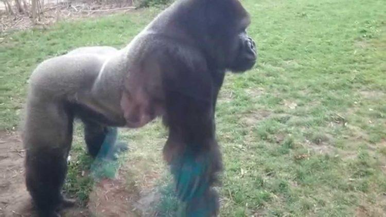 Shocking Video: Angry Gorilla Cracks Zoo Glass Running Towards Little Girl